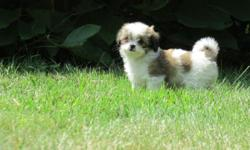 Adorable Shihtzu & Longhair Chihuahua puppies for sale, PRICE REDUCED to $599! 3 females & 2 males. Please come to see them, it will be a great companion or addition to your family. They're good with children & other pets, & are used to a family