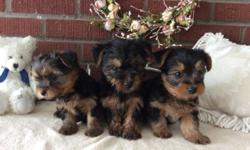 These are very sweet, friendly, adorable puppies! They are raised inside with our family. They will be vet checked on Wednesday March 18th and ready for their new homes anytime after that. You will get a health certificate from the vet, a written 1 year