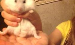 Sweet young Pearl White male Dwarf Winter White Hamster. Very Friendly. Does Not Bite. Change bedding with Carefresh once in two weeks and Will Not Smell. Included is... 32'' bin cage 8 1/2'' comfort Wheel Igloo Hidey House Colored fiddle sticks Bridge
