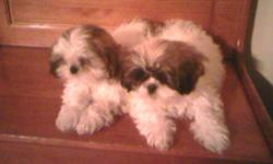 I have 2 adorible male shih tzu/maltese puppies. They are very playful and love to cuddle. They spend alot of time with my 2 yr old niece and 3 yr old nephew. I've been paper training and they love to go outside. They also love to ride in the car. If