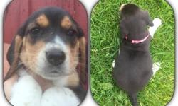 These beautiful beagle puppies are ready for deposits. They will be ready to go home next weekend. They come with AKC registration, They come with vet check, health certificate. First shots and series of de-worming. Their dewclaws have been removed, and