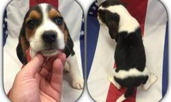 These beautiful beagle puppies are ready to go to their new homes. 13 inch males.They come with AKC registration, They come with vet check, health certificate. First /Second shots and series of de-worming. Their dewclaws have been removed, and they are
