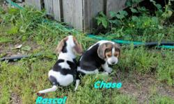 We have 1 male beagle pup available with lots of personality. They were born July 27th. Their parents are Excellent rabbit dogs with good blood lines. They have an amazing sense of smell already and should make Great hunting dogs. They have been handled