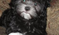 AKC havanese Black/White females. DOB 12/9/14 Very smart and playful and almost forgot very spoiled too. Potty trained to go outside being the weather is starting to get a little better. They love to be outside and are a very hardy breed. There dew claws