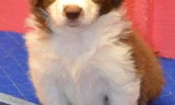 Border Collie puppies litter of seven, 3 males and 4 females born 2-8-15. These are AKC registered and will be microchipped, have first two puppy shots, wormed and have two vet visits before leaving. A non refundable deposit of $100 will hold puppy of