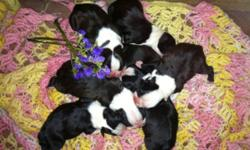 Beautiful Boston Terrier puppies born 3/13/15. Mom is AKC Blue Boston terrier and dad is AKC black and white. They carry the blue gene. Will come with AKC pet registration papers, first shots, and dewormed. Currently have males and females. Taking $150
