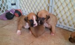 I have 4 beautiful Boxer puppies left!! Born June 12. Mom is a beautiful flashy fawn and Dad is a very handsome fawn with black mask. Dad is a mohogany red and Mom is a little lighter. 2 males and 2 females left. Mom and Dad both AKC registered and in