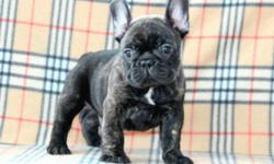 AKC champion blood line French Bulldog Puppies for sale. There are three male puppies available and they are from Champion European bloodlines. They are home raised with plenty of love and attention. They will be sold with limited AKC registration. When