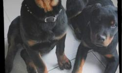 Hello Fellow Rottiewieler Lovers, My name is SHERYL BORNE ; Our family has been blessed with a beautiful litter of ; AKC registered ,German ,Champion pedigree, purebred Rottweiler puppies . We have been Rottiewieler Lovers/ Owners for almost 20 yrs. We