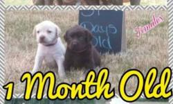 AKC REGISTERED CHOC MALES AND FEMALES AND YELLOW MALES AVAILABLE, BORN MAY 18TH. $200 DEPOSIT TO HOLD WHICH IS NON REFUNDABLE. PUPPIES ARE $600 AND COME WITH FULL AKC REGISTRATION. VET CHECKED, SHOTS AND WORMED AT 2 4 AND 6 WEEKS. PICTURES CAN BE SEEN AT
