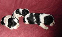 I have three, akc cocker spaniel puppies that will be ready in time for christmas,, they will come with full registration,,, 1st shots and 1st worming,,, thier tails are done I have 2 females and one male , they are black and white and the male and one