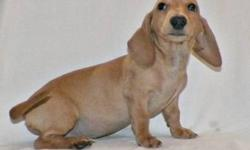 DELIVERED 6/5/13 full akc & all shots born in Mo. $200 to ship to ny Microchipped 2 red males