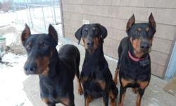 AKC registered Doberman Pinscher puppy. One black and rust female available. Born Feb. 1, 2015, ready for new home end of March. 5 year health guarantee, up to date on shots/worming. Tails and dews done. Excellent temperament, smart, great reputation for