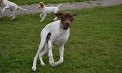 Cisco is a beautiful liver and white 2 year old purebred AKC registered Pointer. He is a retired show dog looking for a pet friendly home. He is crate trained, house trained and has basic manners. Cisco is kind of goofy and clumsy so he can be a bit