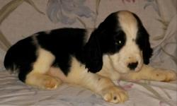 2 male AKC English Springer Spaniel Puppies. 1 Liver/White, 1Black/White have had tails docked, dew claws removed, shots and worming. ready Nov 1st Parents on premises. Great family dogs.