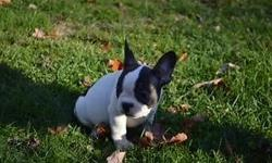 Pied red boy is loving and playful. Well socialized and raised in our home. He would be a lovely addition to any family. Our puppies are up to date on vaccines, worming, and bordello. They also receive Revolution for heart worm. Both parents are on the