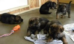 Will be ready for new homes August 1, 2016. 4 boys 2 girls, they will of course leave here with first shots and de-wormer. Visit our FB page Comfort Hill Kennels or www.comforthillkennels.com and the link to our FB page for current videos of puppies.