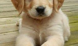 -Akc golden retriever pups -Taking deposits with signed contract -Expected date of birth 8-1-2016 -Expected date to go to forever homes 10-1-2016 Will be dewormed Will have first set of vaccines Will be on hard food Will be potty training Family raised