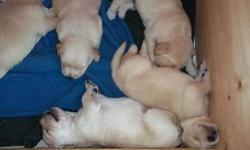 Daydream's Sunny Sadie and Yankee's Golden Glove Jeter Bear had a litter of beautiful Golden Retriever puppies on June 16. These puppies are being raised in our home with an older child, two other dogs, four cats and a house bunny. They are getting very