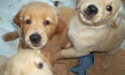 Yankees Golden Glove Jeter Bear and Daydream's Sunny Sadie had a litter of beautiful Golden Retriever puppies on 7/3 - four girls and three boys. These pups will be ready to go to their new homes at eight weeks old. The pups will be well socialized - they