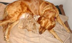 "We have a beautiful new litter of seven, AKC Golden Retrievers. ONLY 3 Boys and 1 Girl left. The father is OFA hip certified with an ""EXCELLENT"" rating Born June 29, 2016 ready for pick up August 24, 2016 $825.00 each. A $125.00 non-refundable cash"