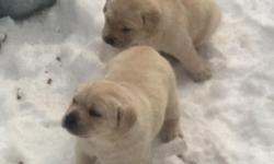 Parents are both from champion bloodlines, bred for disposition and show. Also love to hunt. Both parents on premise, more pictures available upon request. Pups ready for pick up March 14th. Call John at 585-259-2264 for more information.
