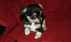 This cute little guy is ready to go to his new home.He is up to date on shots,wormed and paper trained.DOB 4-25-16 He is being offered as a pet for $500 Ph (585)637-8357 Website: www.bjschihuahuas.com