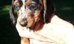 AKC Mini Dachshund - Black - female. First shot and wormed , will be about 7 - 8 lbs when mature..
