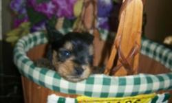 "From time to time I retire adults from my breeding program, and downsize. This is AKC ""Paris"" as we call her, her official name is Nothley's Gina Web on her papers. She's been a good free whelping mom and has had 4 litters of tiny puppies. She is up to"