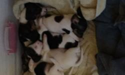 We have 5 purebred dachshund puppies for sale in Syracuse. We have 1 female and 4 males. The mostly white one is the female. They come from a loving home, and are well cared for. Puppies were born on June 25th. Visit www.woodside-doxies.com for more