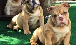 We have 3 males and 1 female available, Triple Carriers that can produce all rare colors Blue , Chocolate and Lilac Tri's. They are AKC registered UTD on shots and ready for there new homes, price range between $3,000 and $4,000 contact for details.