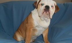 I have a Male English Bulldogs looking for a loving home. Rumble is 2 years old and is a red and white pied. He is AKC registered and is being sold with full breeding rights. He has sired 4 litters of puppies and is a proven stud. Rumble is well