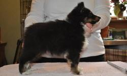 Jolie Shelties, home of Best in Show and Specialty winning dogs has one tricolor female puppy available. She was born on 10/18/12, and is up to date on vaccinations and ready to find her forever home. The father is my bi black boy, Can/Am Champion Jolie