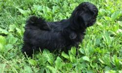 4 month old black female shih tzu puppy. She has had 3 sets of shots and available to the right home. Nice conformation. Possible show prospect. Email for more info.