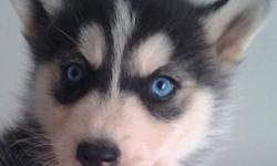 I have a AKC Siberian Husky male Red & white w/blue eyes Born on 1/21/12 UTD w/immunizations AKC Registration papers available for an additional fee. Moving and need to downsize. Hate to let him go. Looking for a home where he will have room to run as