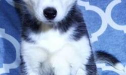 This little girl is a gorgeous jet black partially open faced blue eyed Siberian Husky named Citra who was born on December 10, 2014. She is the biggest lover and such a sweet heart. Shes just so cute and loves love. She has such s gorgeous face and a