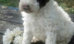 AKC MALE STANDARD POODLE PUPPIES READY JULY 30,2016. FAMILY RAISED, FIRST SET OF VAC'S,WORMINGS,HEALTH GUARANTEE, AKC PAPERWORK AND PUPPY STARTER BAG. PLEASE INQUIRE FOR ADDITIONAL INFO.