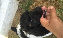 APPOLLO is a very pretty AKC Standard parti poodle. He is Black and white with a touch of brown on his head. Available to go home August 9th. He will be a good size standard. He was raised in my living and socialized with children and other pets. APPOLLO