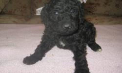 AKC STANDARD POODLE PUPPIES FAMILY RAISED AND SOCIALIZED WITH CHILDREN. THEY COME VET CHECKED, FIRST SET OF SHOTS, DEWORMINGS, PUPPY PACK DIAMOND PUPPY FOOD, SMALL PUPPY GUARANTEE, DOCKED TAILS, DEWCLAWS REMOVED, COPY OF PEDIGREE, AND AKC PAPERWORK. I AM