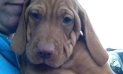 AKC Vizsla Puppies, 1 Male and 1 Female puppies available Now 9 Weeks old and Another litter with both males and females ready to go home 1/3/15. Pups come with AKC Limited Registration, Tails Docked and Dew Claws removed. Vet Checked, with Health