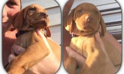 AKC Vizsla Puppies available and ready to go home now. Female/Male available. Pups Come with limited AKC reg, Vet Check, Health Certificate, have had their DewClaws removed and tails docked, they have had their first / second set of shots and series of