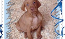 AKC Vizsla Puppies, Males and Females puppies available Now 7 Weeks old and ready to go home 1/3/15. Pups come with AKC Limited Registration, Tails Docked and Dew Claws removed. Vet Checked, with Health Certificate, First Set of puppy Shots, series of