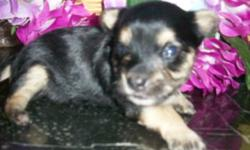 "6 lb. AKC Yorkie Mom, and 5 lb. Yorkie Dad had this cute little female ""Sapphire"" born 6/21/16. She will come with tail docked, dewormed, first puppy shot, vet certificate, AKC registration papers & sample food for $1250. At birth she weighed 6.5 oz. and"