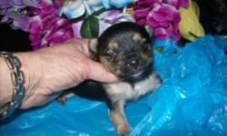 "6 lb. AKC Mother and 5 lb. AKC Father, have this adorable male puppy ""Emerald"", born 6/21/16. He comes with tail docked, dewormed, first puppy shot, vet certificate, AKC registration papers, and sample food for $950. E-mail me for free weekly updates and"