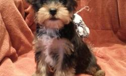 We have a handsome purebred teacup yorkie BOY, he will be around 4-4.5lb. He has best AKC papers and ready for new home with two sets of shots and dewormed every two weeks, his dew claws removed and tail docked. His parents are my pets, dam is 4.5lb and