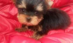 We have very cute purebred yorkie boy, he is READY for his new forever home. He has best AKC registration, dew claw removed and tail docked. Supposed to be around 4-5lb. Up to date on vaccination, dewormed every two weeks.Has great personality will be