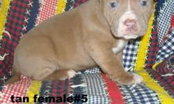"""Pit bull puppy that needs a home. She is dewormed and have first shots. dad has purple ribbon bloodline.aggression.Goin to be nice size. She loves kids and love to play"
