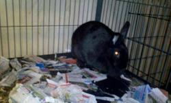 American - Big Black Bunny - Medium - Adult - Male - Rabbit Big Black Bunny was an owner surrender to Flutterbyes. His previous owners were college students who could no longer take care of him. CHARACTERISTICS: Breed: American Size: Medium Petfinder ID: