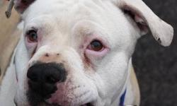 American Bulldog - Amber - Medium - Adult - Female - Dog Amber is a beautiful girl believed to be about 3 years old. She arrived at the shelter emaciated and with sores on her ears and tail from being in a crate that was way to small for her. She had ear