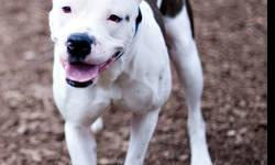 American Bulldog - Max (aka Max Sr.) - Extra Large - Adult MAX IS SNOW WHITE & THE SEVEN DWARFS ALL ROLLED INTO ONE ADORABLE DOG! This middle aged American Bulldog mix is quite the guy and he has many sides; Max gets very excited (Happy) about food and